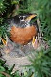 American Robin, Laskay, Ontario