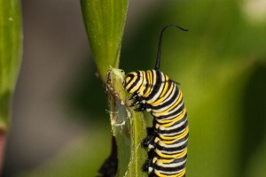 Monarch Caterpillar Photo