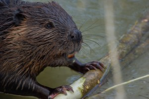 Young Beaver (Kit)